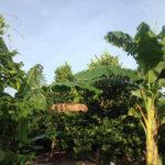Chuối mọc trong vườn mít
